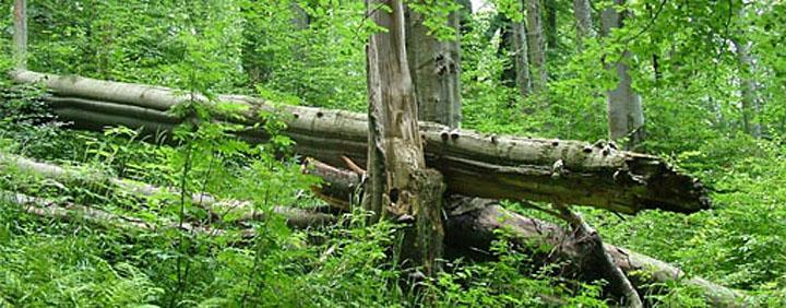 Přírodní rezervace prales Mionší